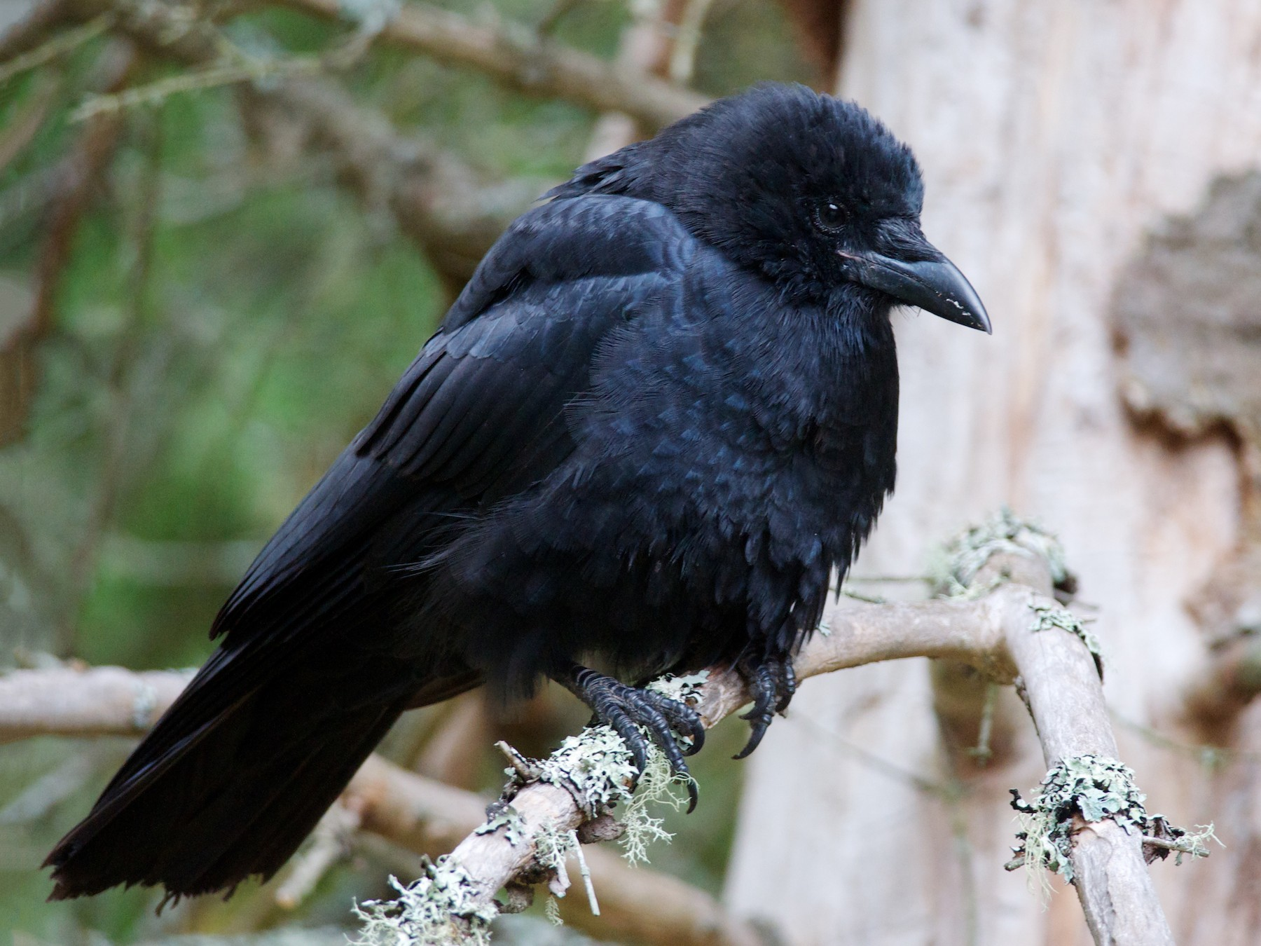 American Crow - Anonymous eBirder