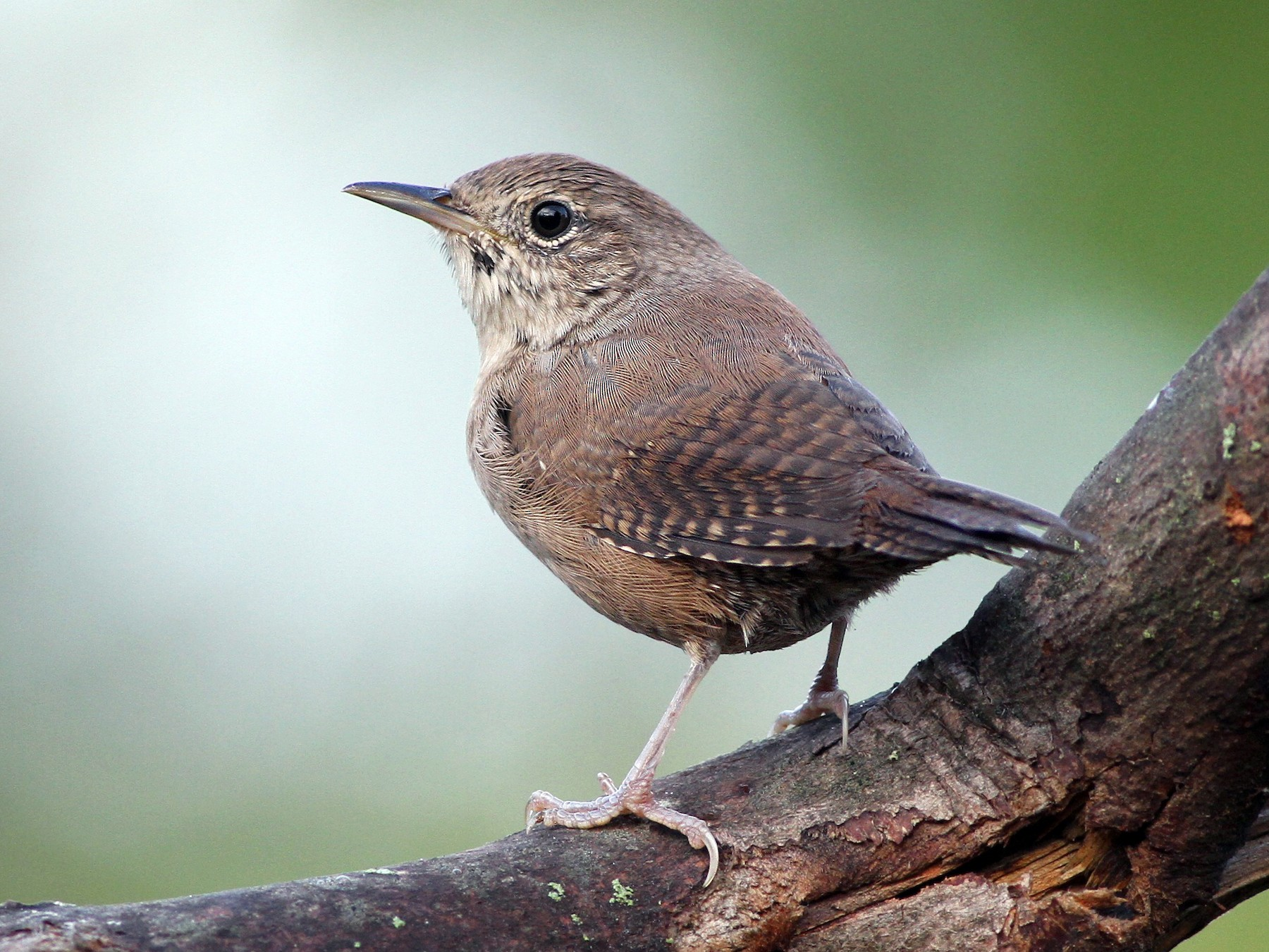 House Wren - Evan Lipton