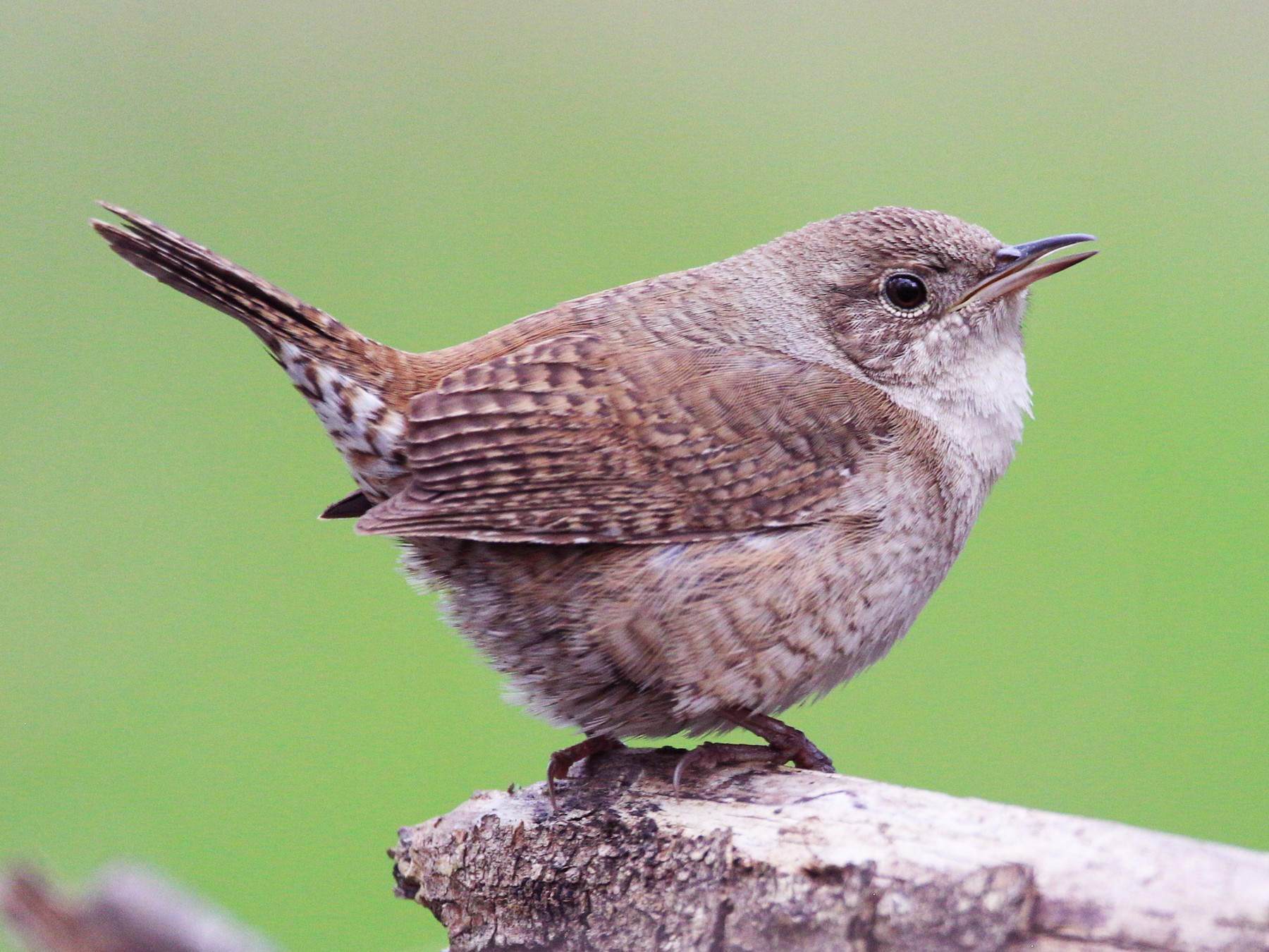 House Wren - Andy Witchger