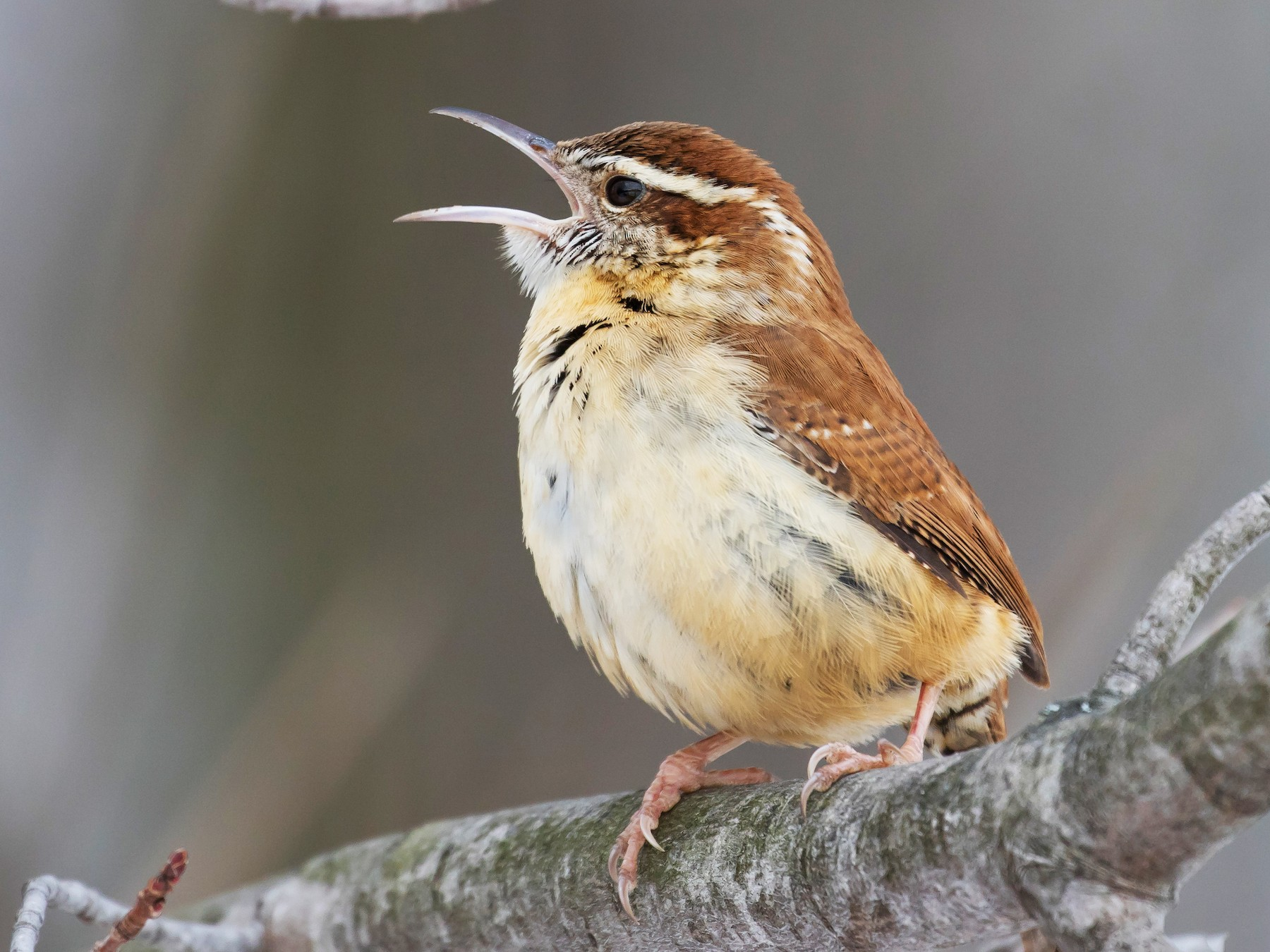 Carolina Wren - Chris Thomas