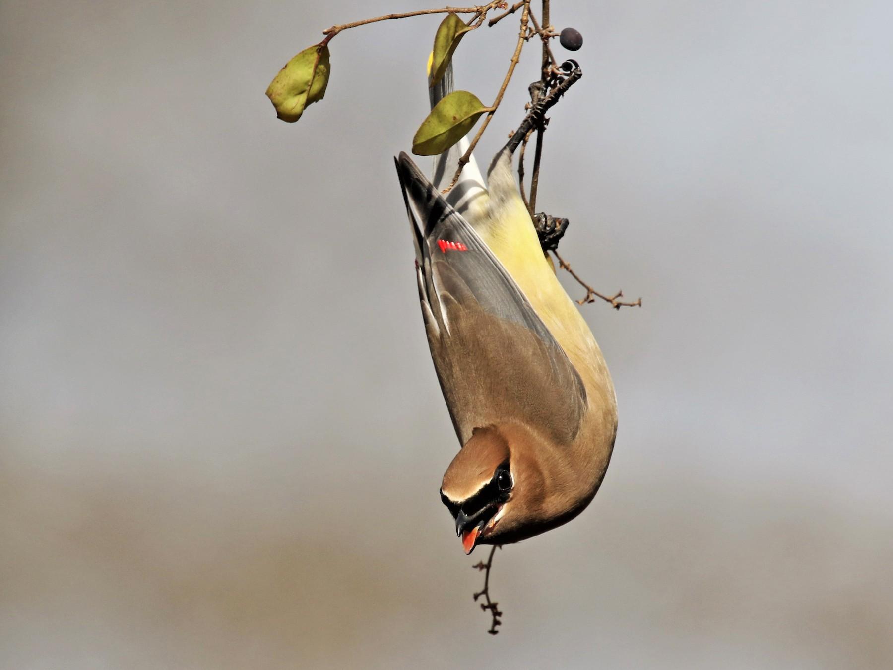 Cedar Waxwing - Jeffrey Schaarschmidt