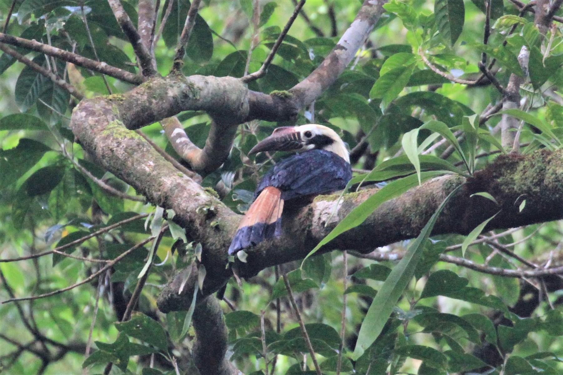 Visayan Hornbill - Charles Davies