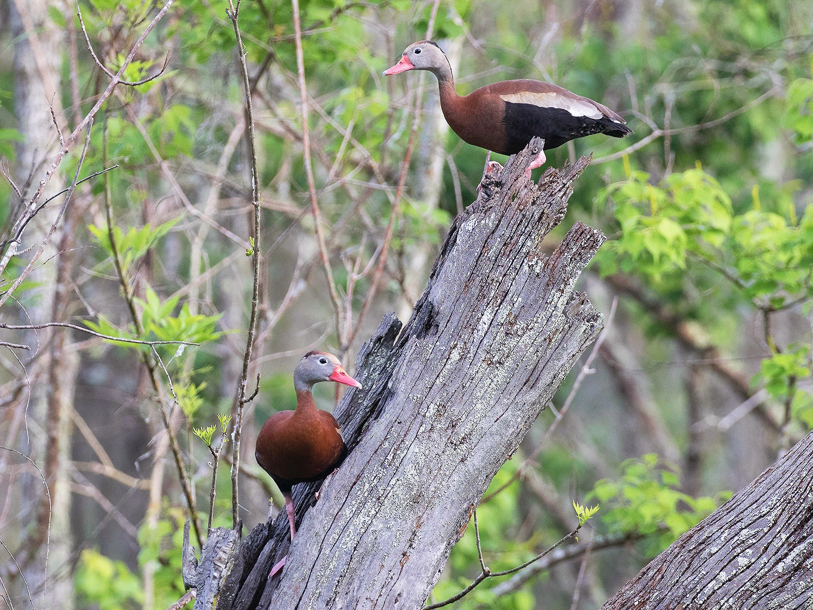 Black-bellied Whistling-Duck - Ryan Shaw
