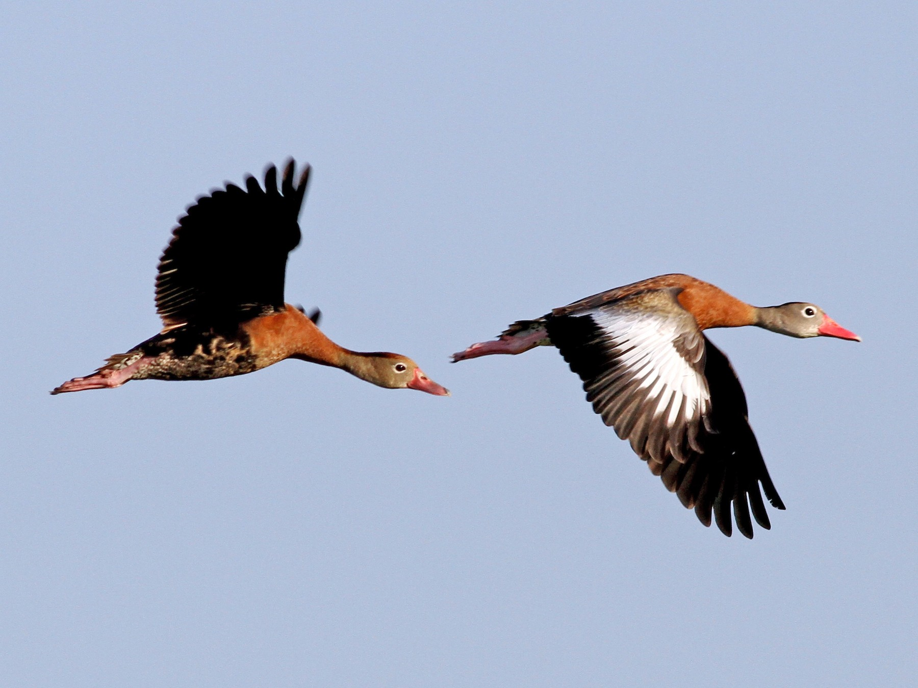 Black-bellied Whistling-Duck - Georges Duriaux