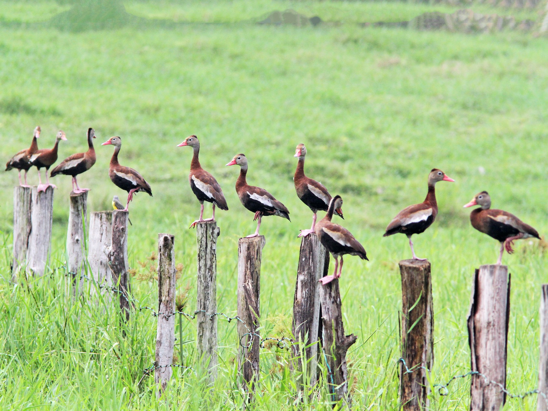 Black-bellied Whistling-Duck - Sean Fitzgerald