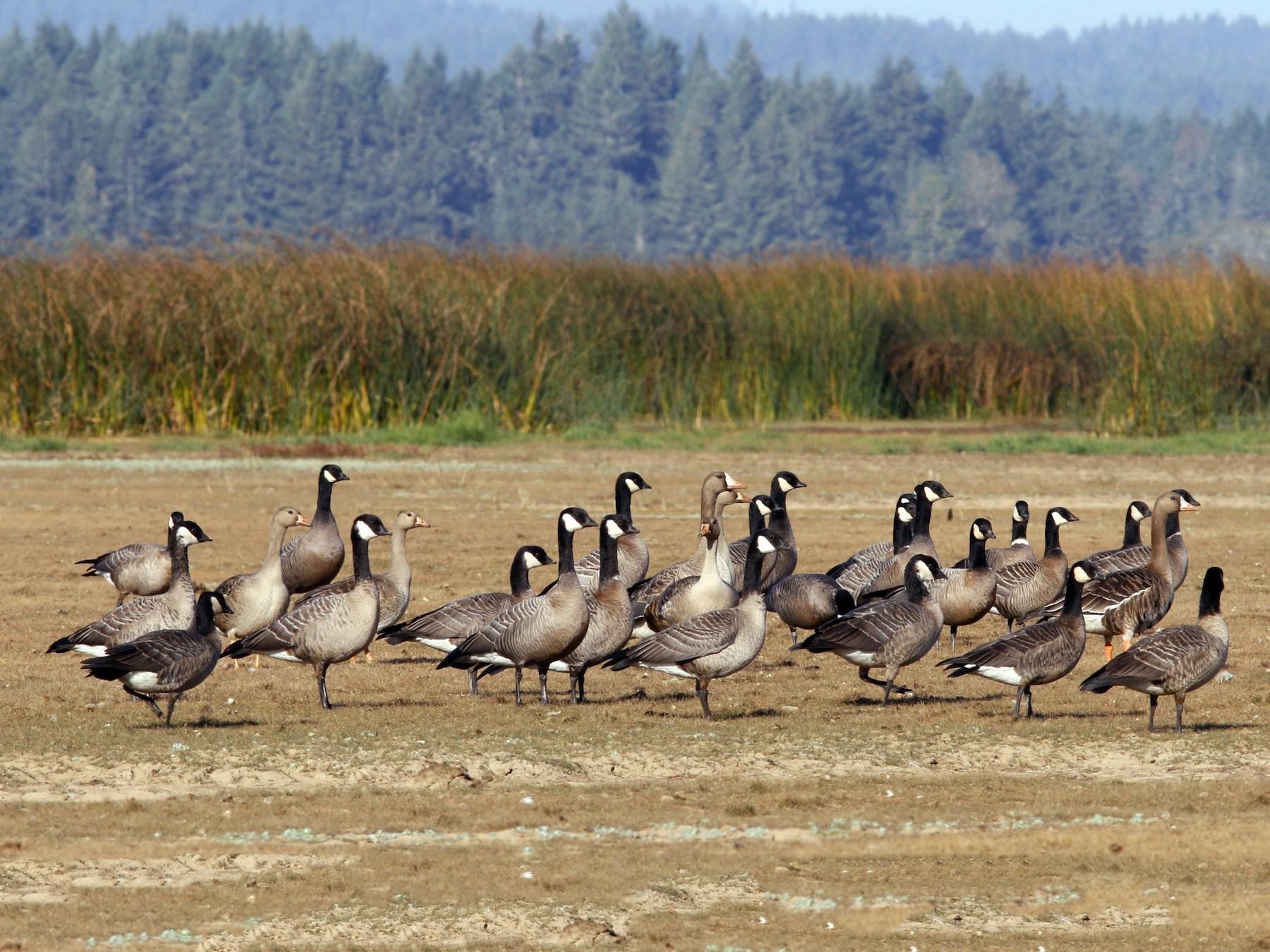 Greater White-fronted Goose - John Sullivan