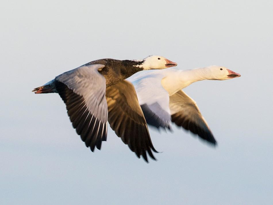 Snow Goose - Suzanne Labbé