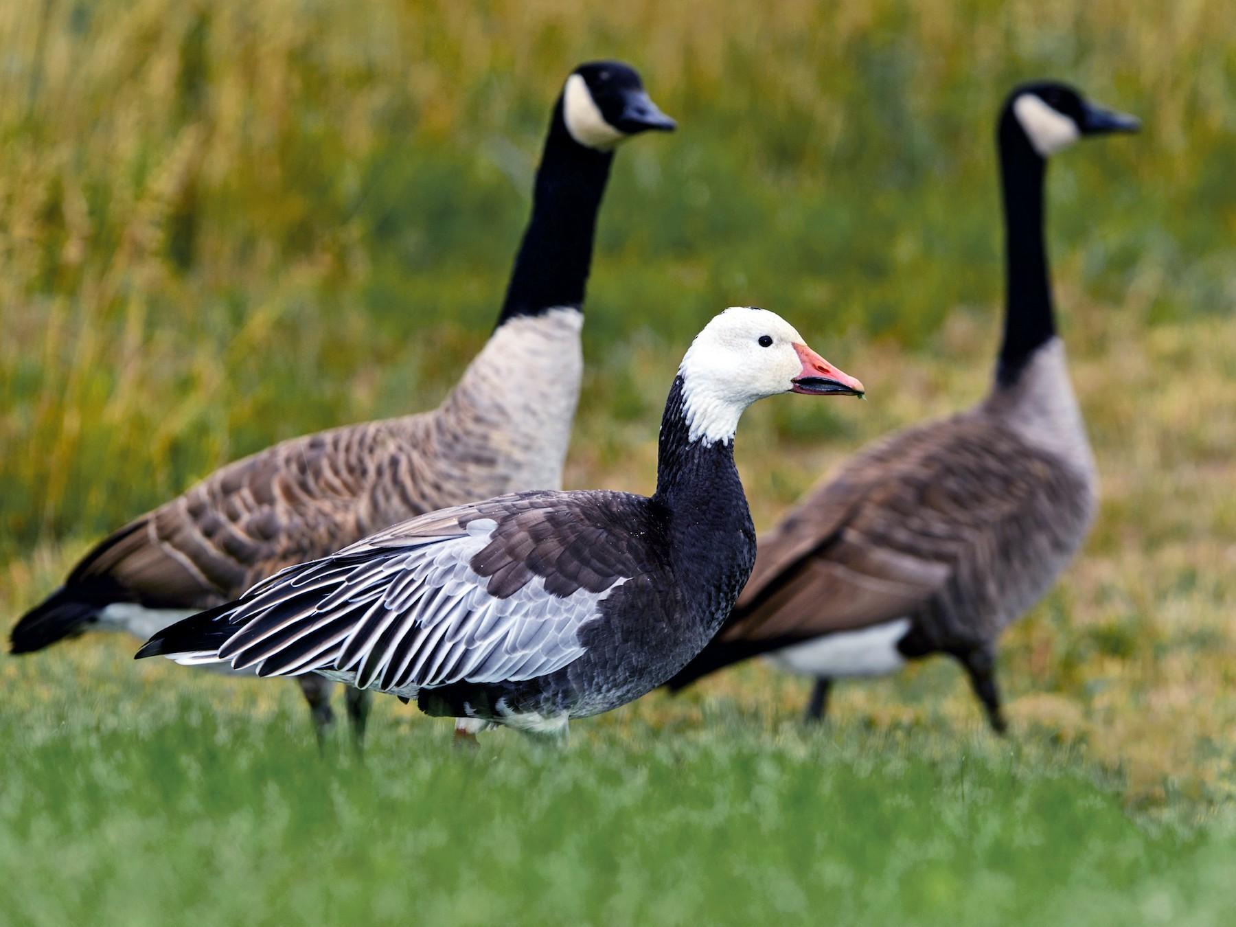 Snow Goose -