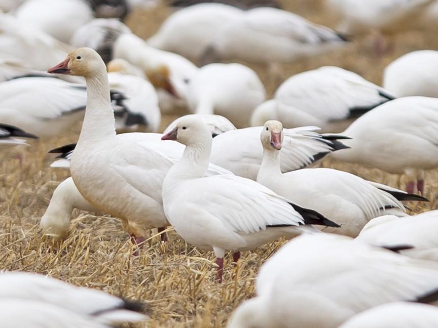 Ross's Goose - Joshua Covill