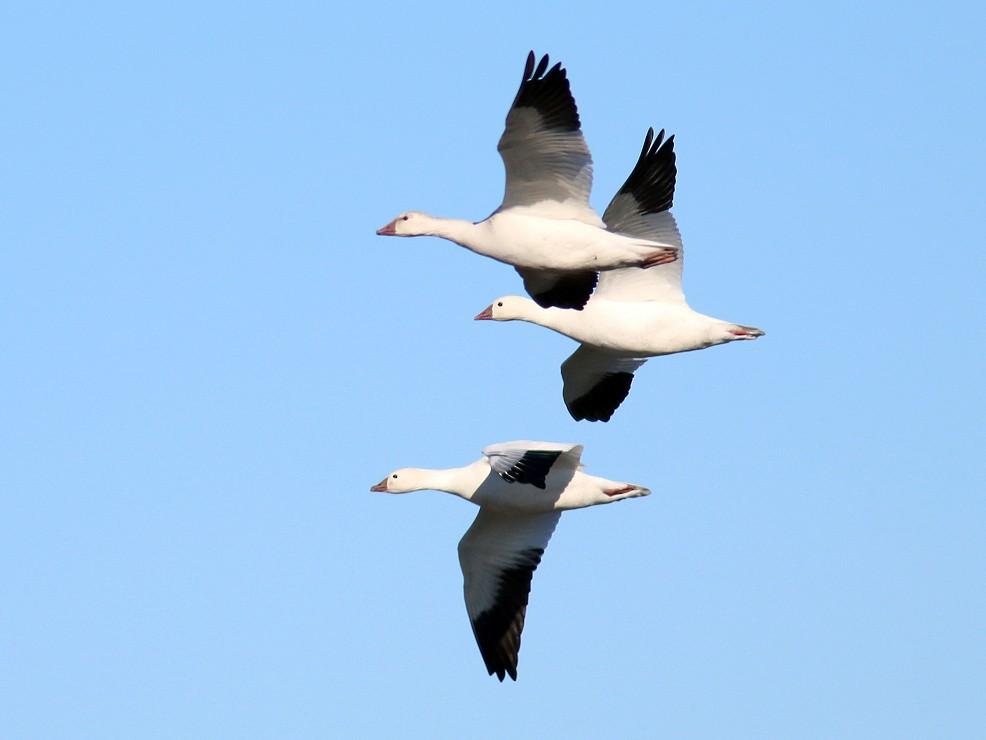 Ross's Goose - Aaron  Brees