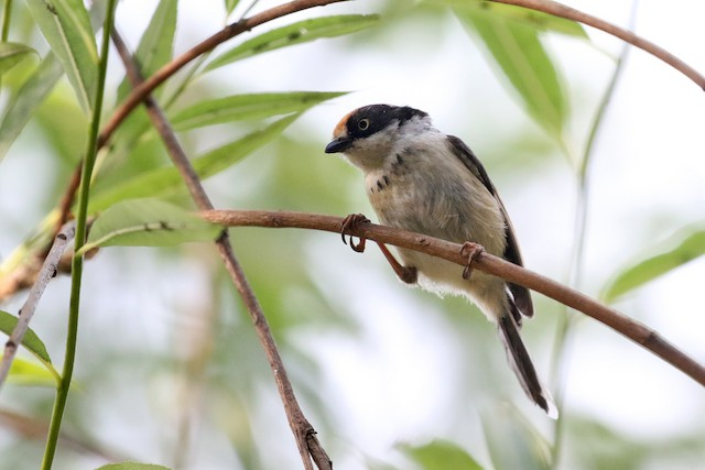 Juvenile or immature, presumably subspecies <em>talifuensis.</em>