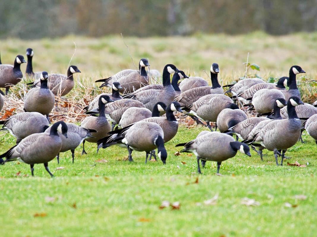 Cackling Goose - Greg Gillson