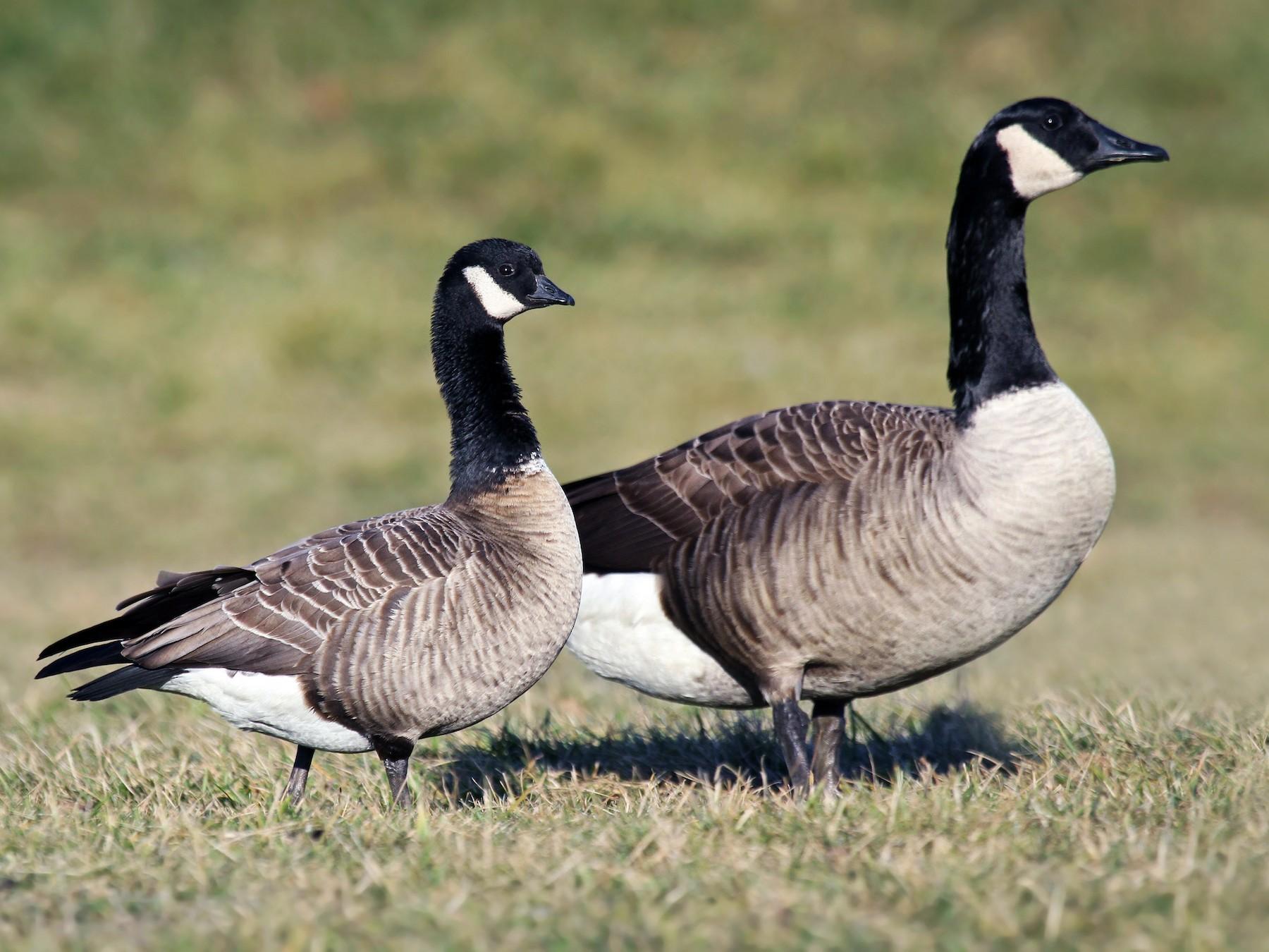 Cackling Goose - Ryan Schain