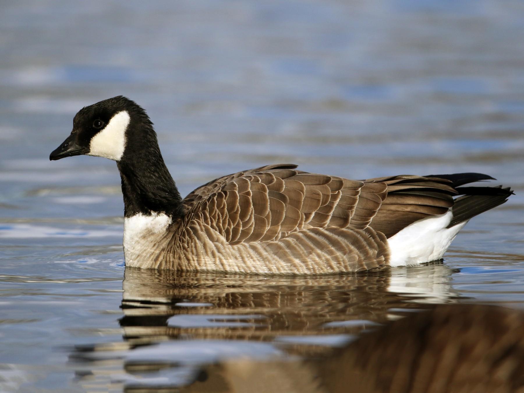Cackling Goose - Jay McGowan
