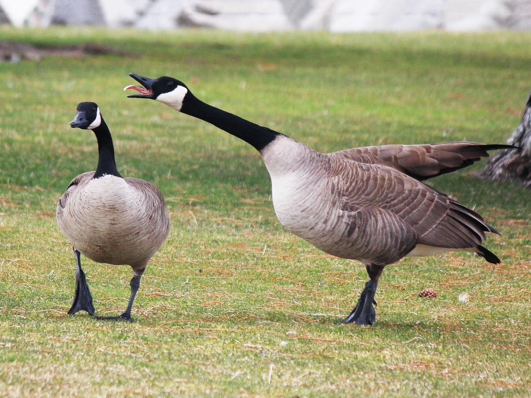 Canada Goose - Nick  Rosen