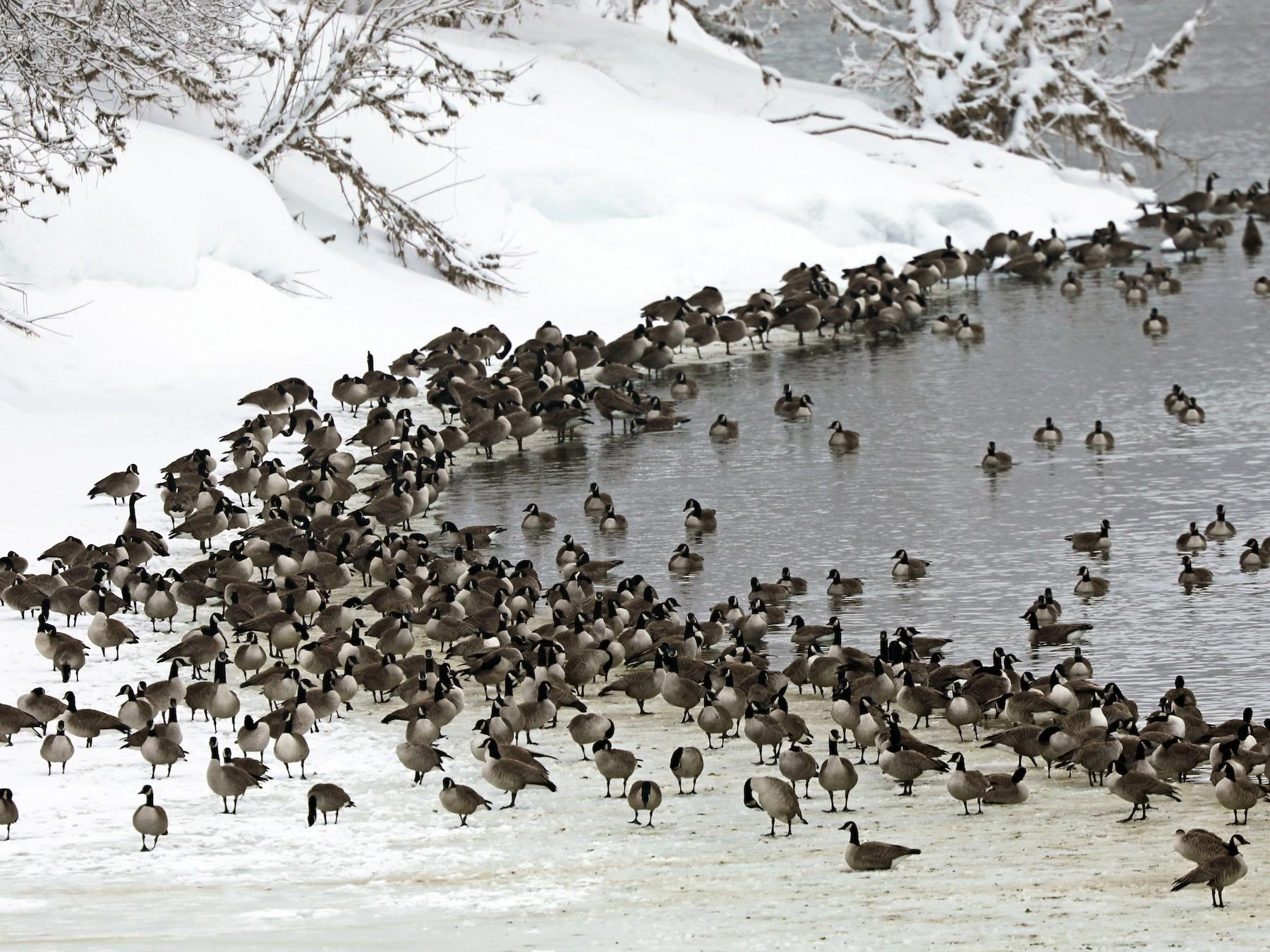 Canada Goose - Daniel Jauvin