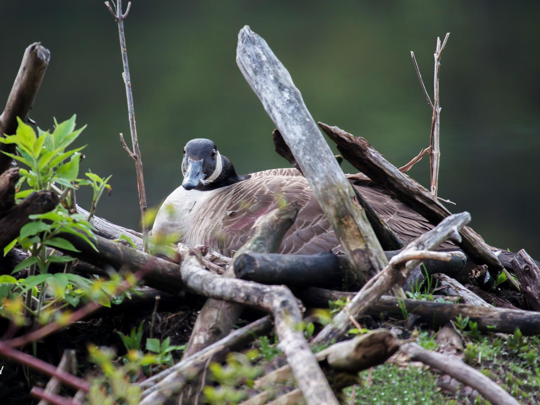 Canada Goose - Kent McFarland