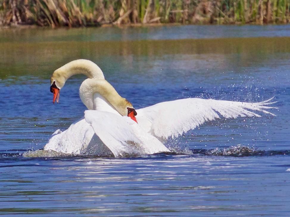 Mute Swan - Ed  Harper