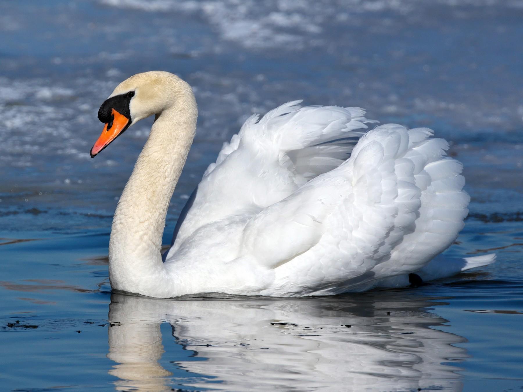 Mute Swan - Paul Tavares