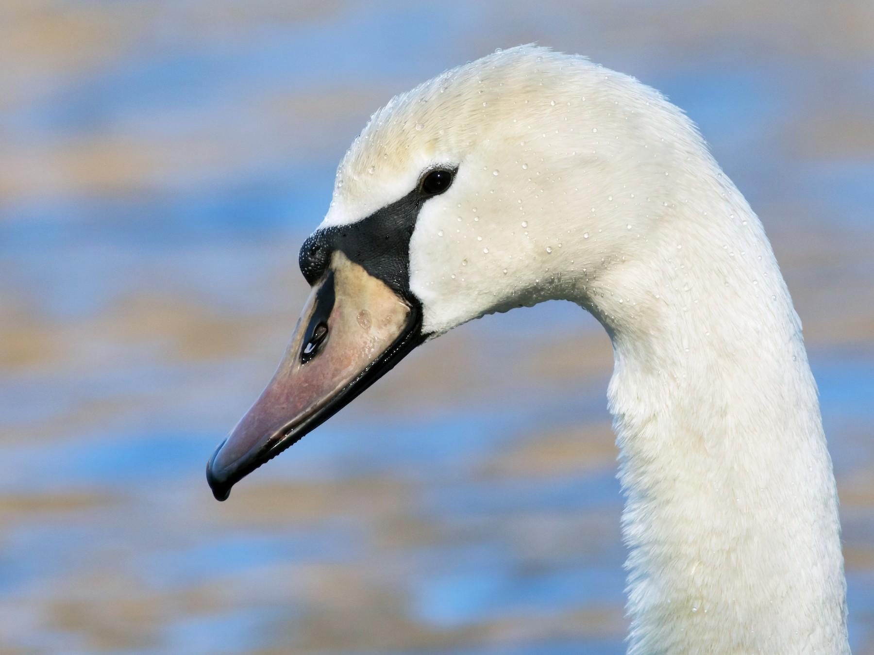 Mute Swan - Oliver Burton
