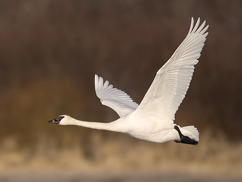 Trumpeter Swan - Jeff Dyck