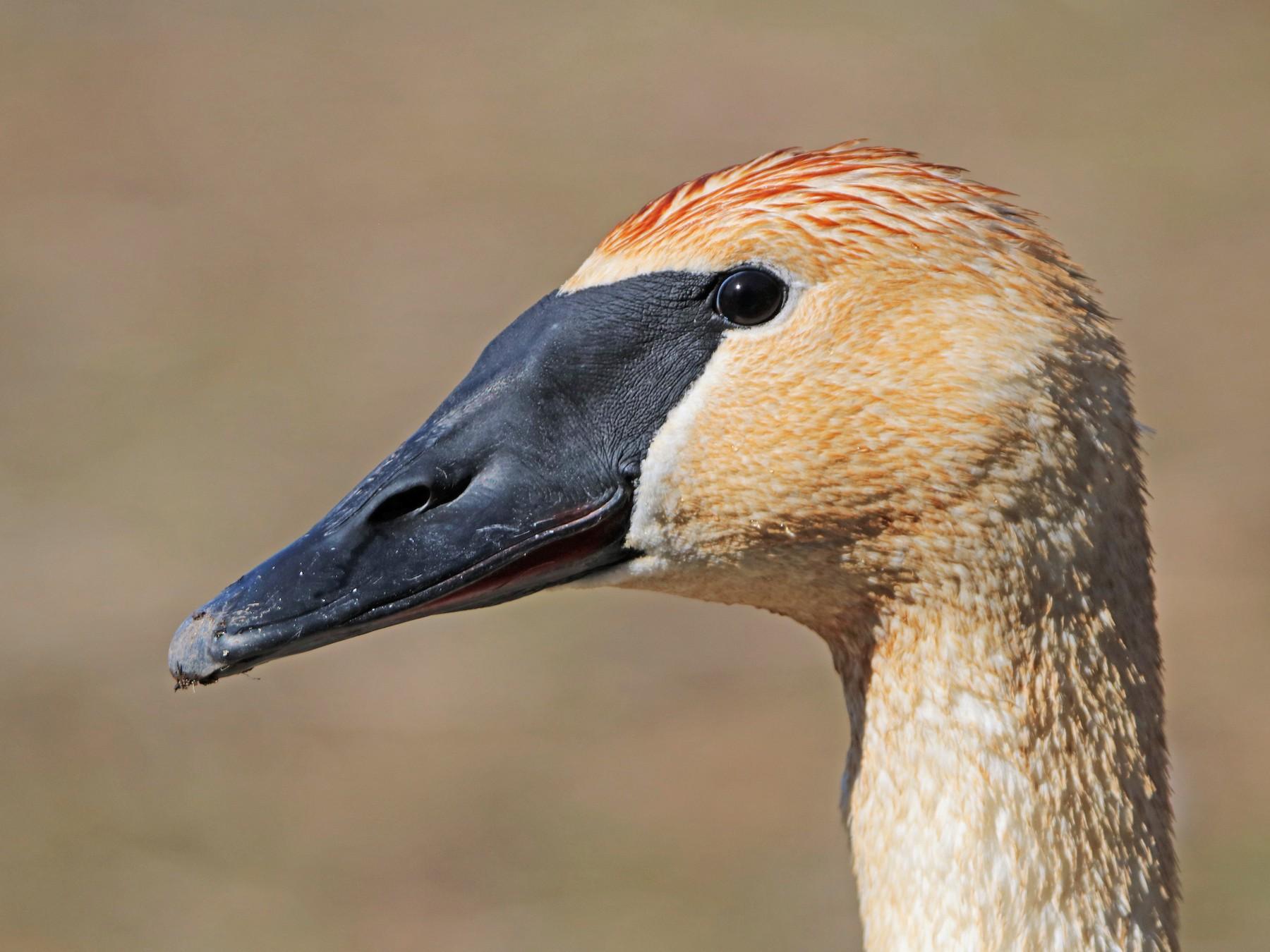 Trumpeter Swan - Zachary Frieben