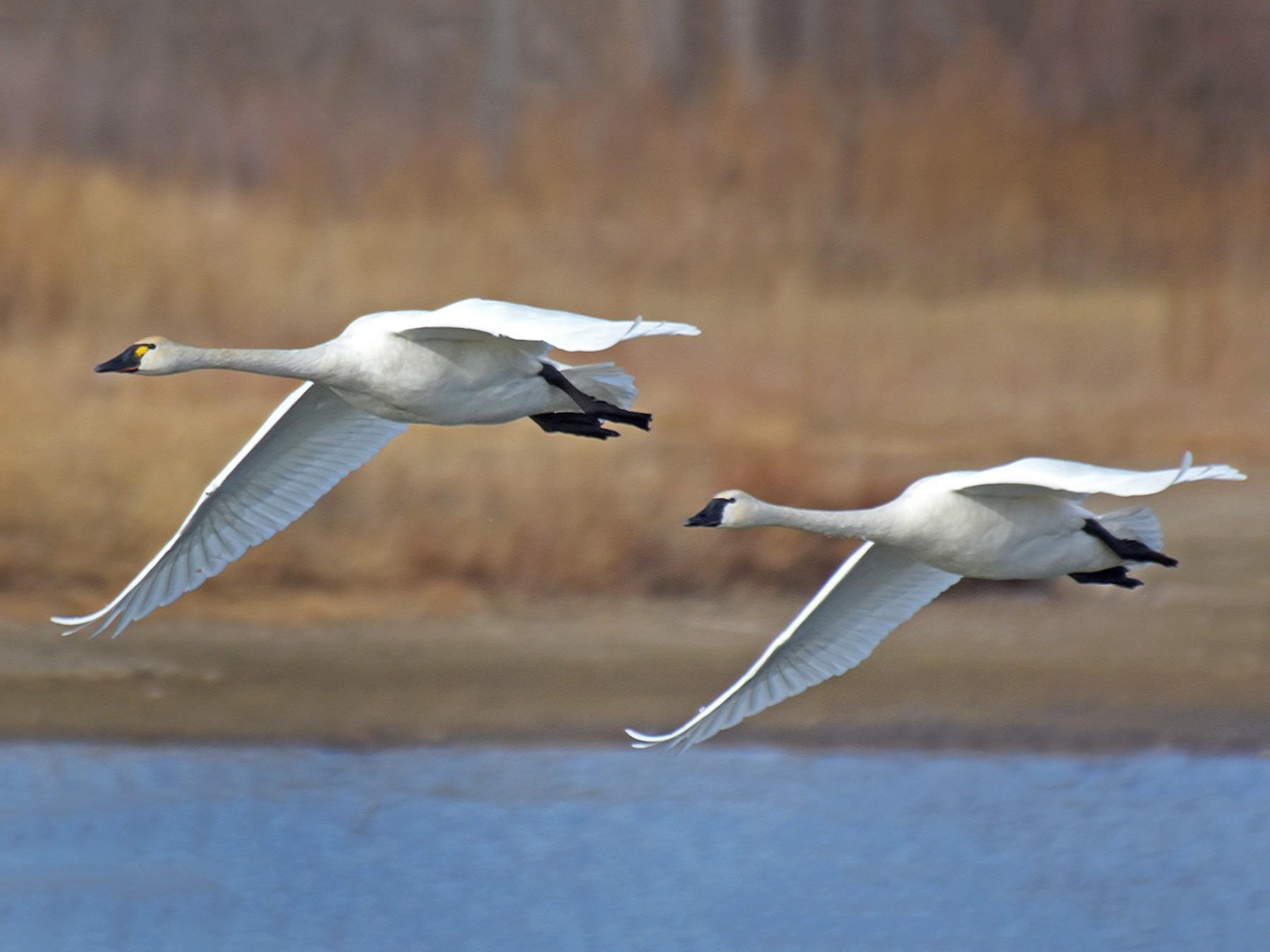 Tundra Swan - Steven Mlodinow