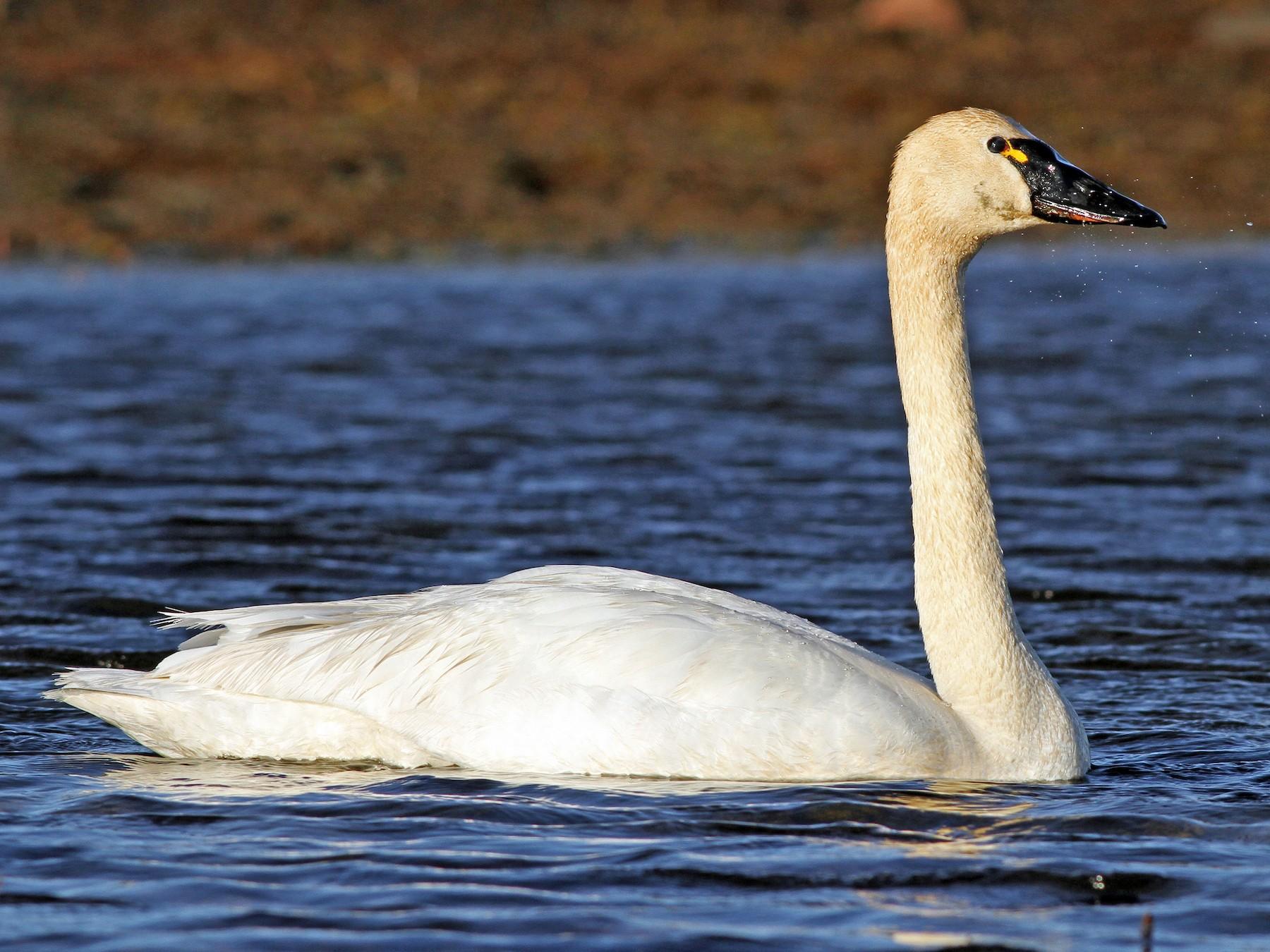 Tundra Swan - Ian Davies