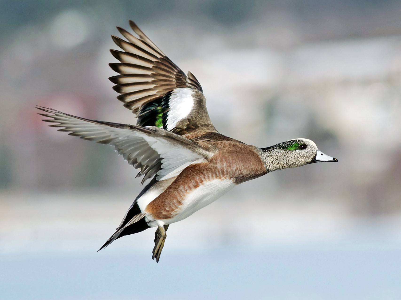American Wigeon - Alix d'Entremont