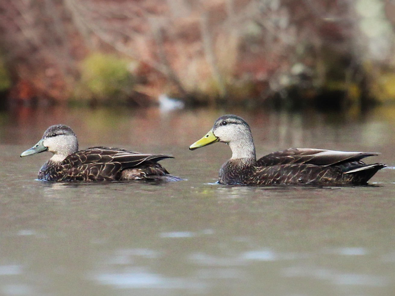 American Black Duck - Mike Schanbacher