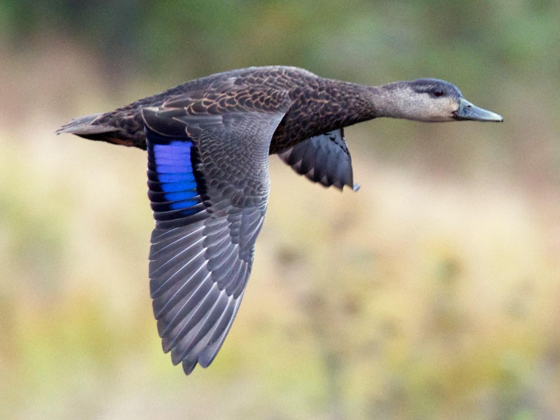 American Black Duck - Anonymous eBirder