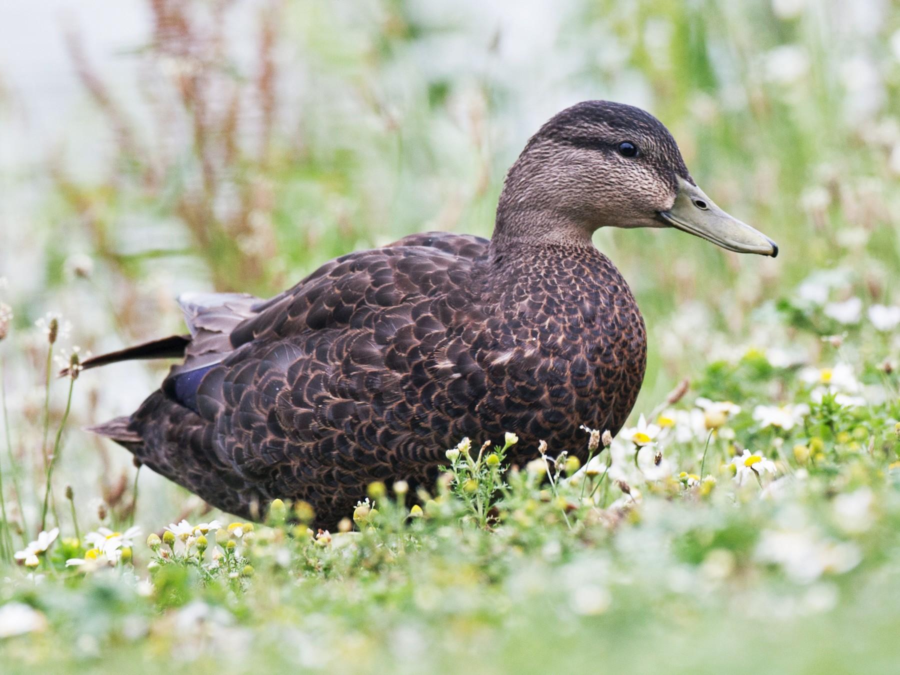 American Black Duck - Chris Wood