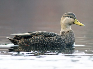American Black Duck Anas Rubripes Birds Of The World