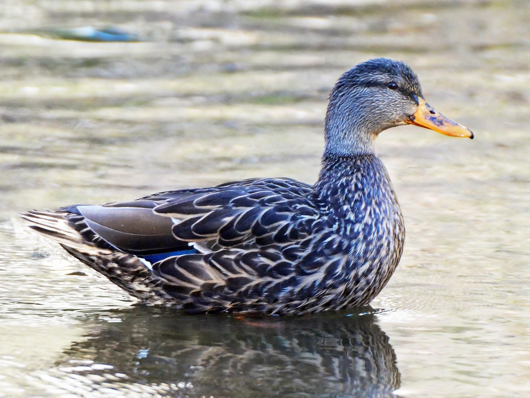 Mexican Duck - Steven Mlodinow