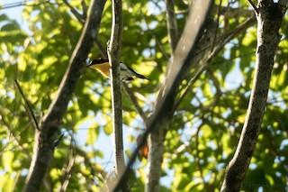 - Handsome Sunbird