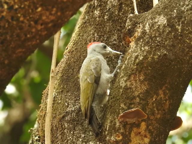 African Gray Woodpecker