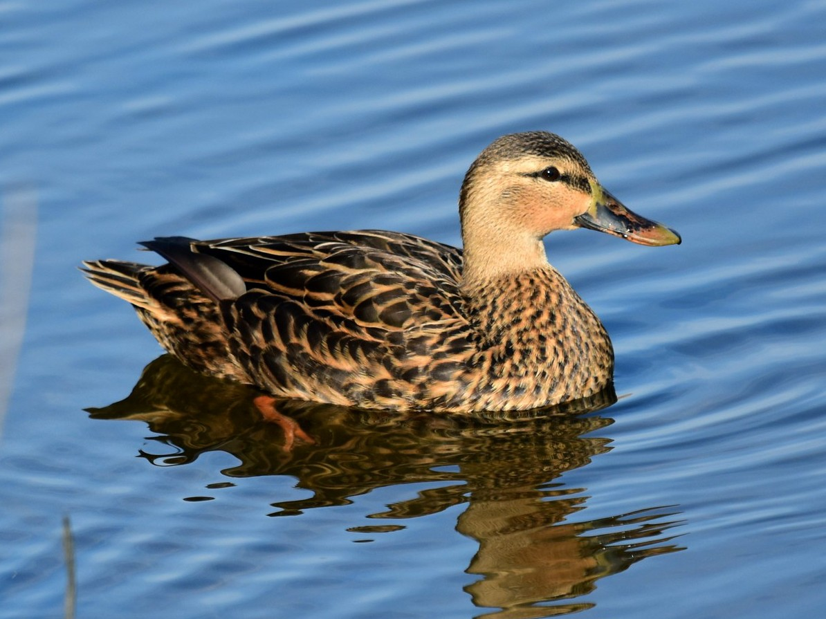 Mottled Duck - Joel Trick