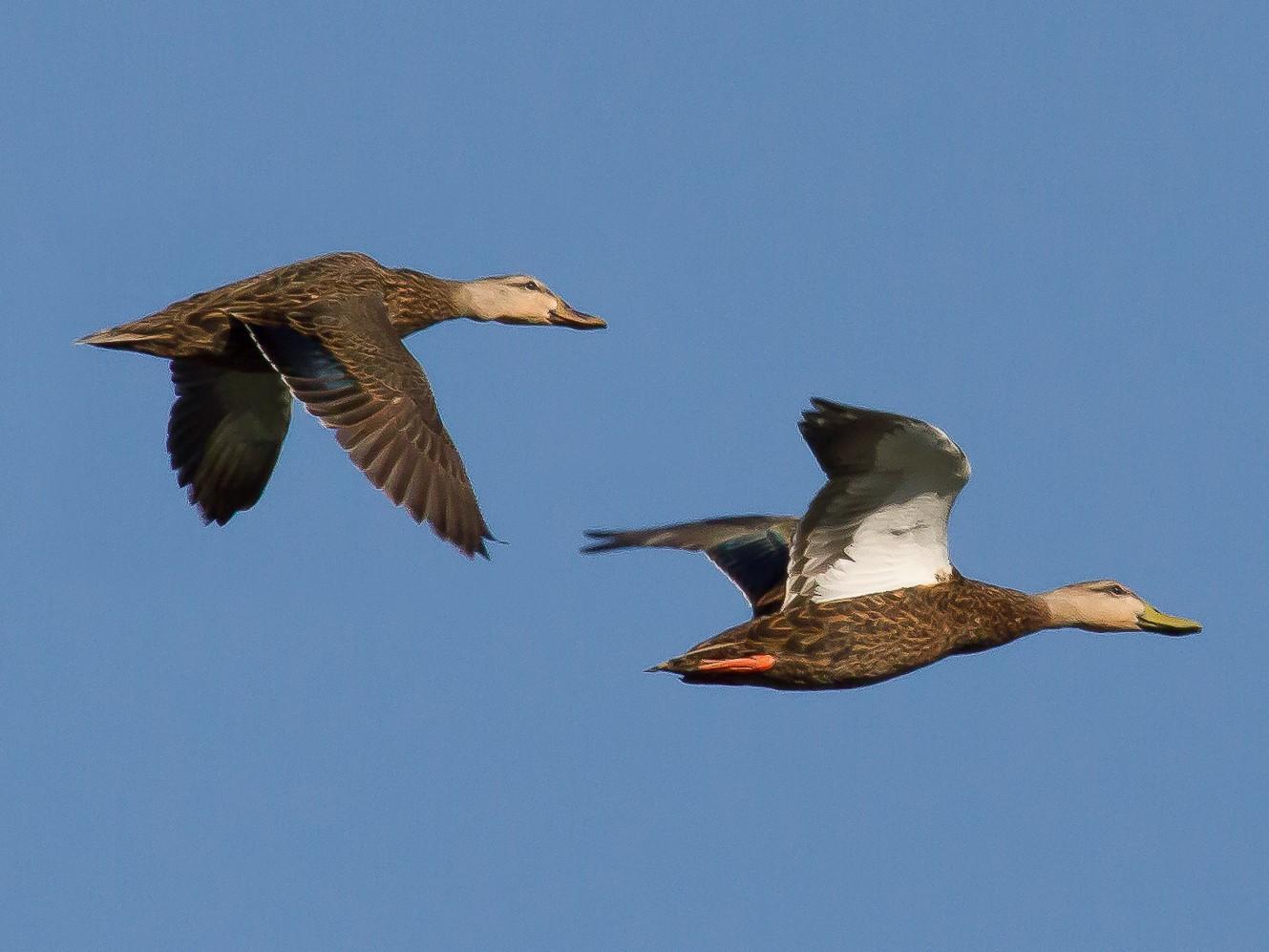 Mottled Duck - Nick Pulcinella