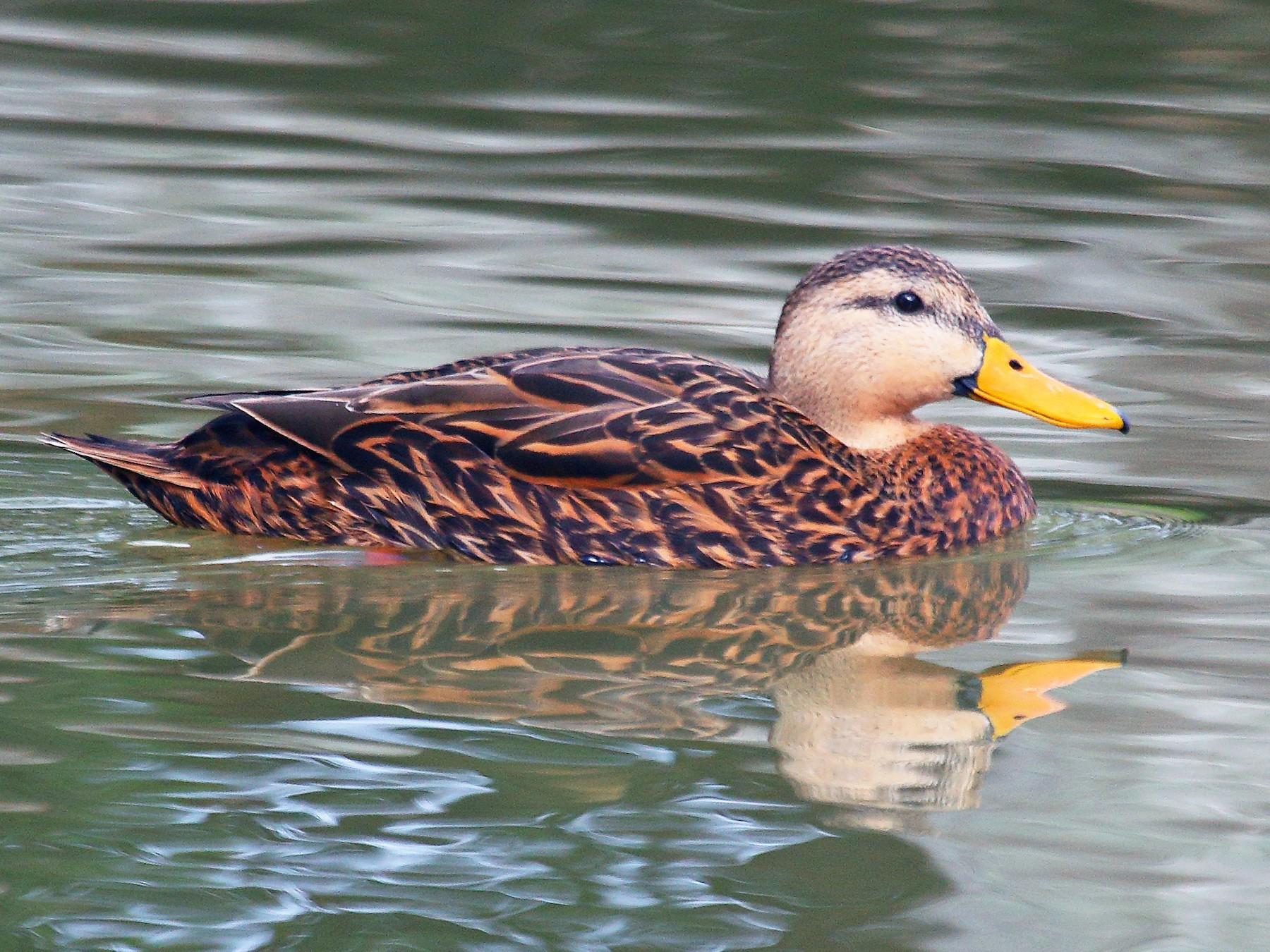 Mottled Duck - Patrick J. Blake