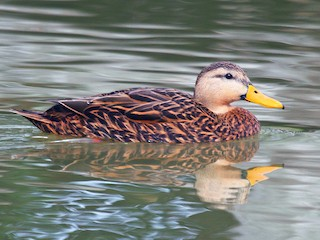 Mottled Duck (Anas fulvigula)