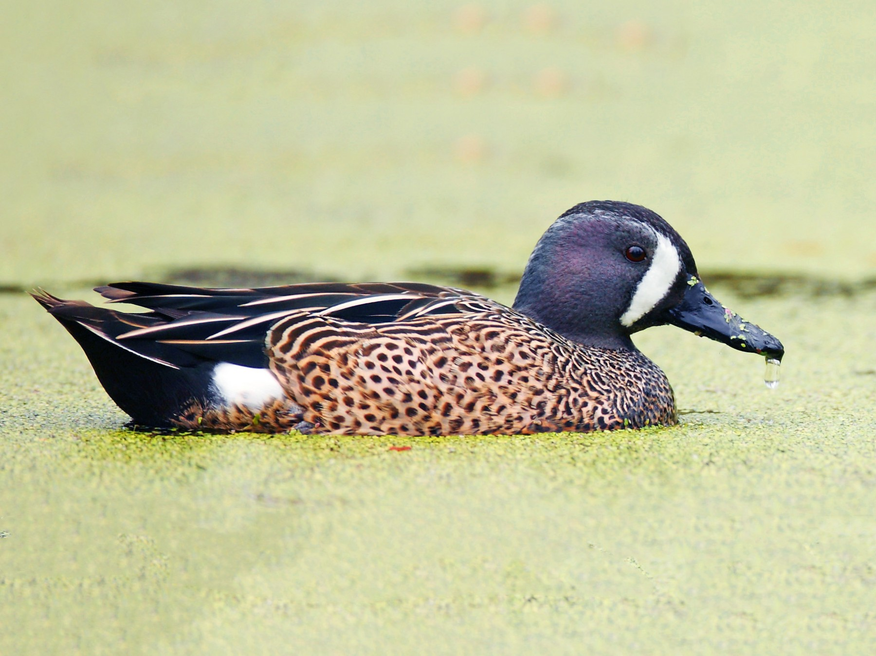 Blue-winged Teal - Dave Spier