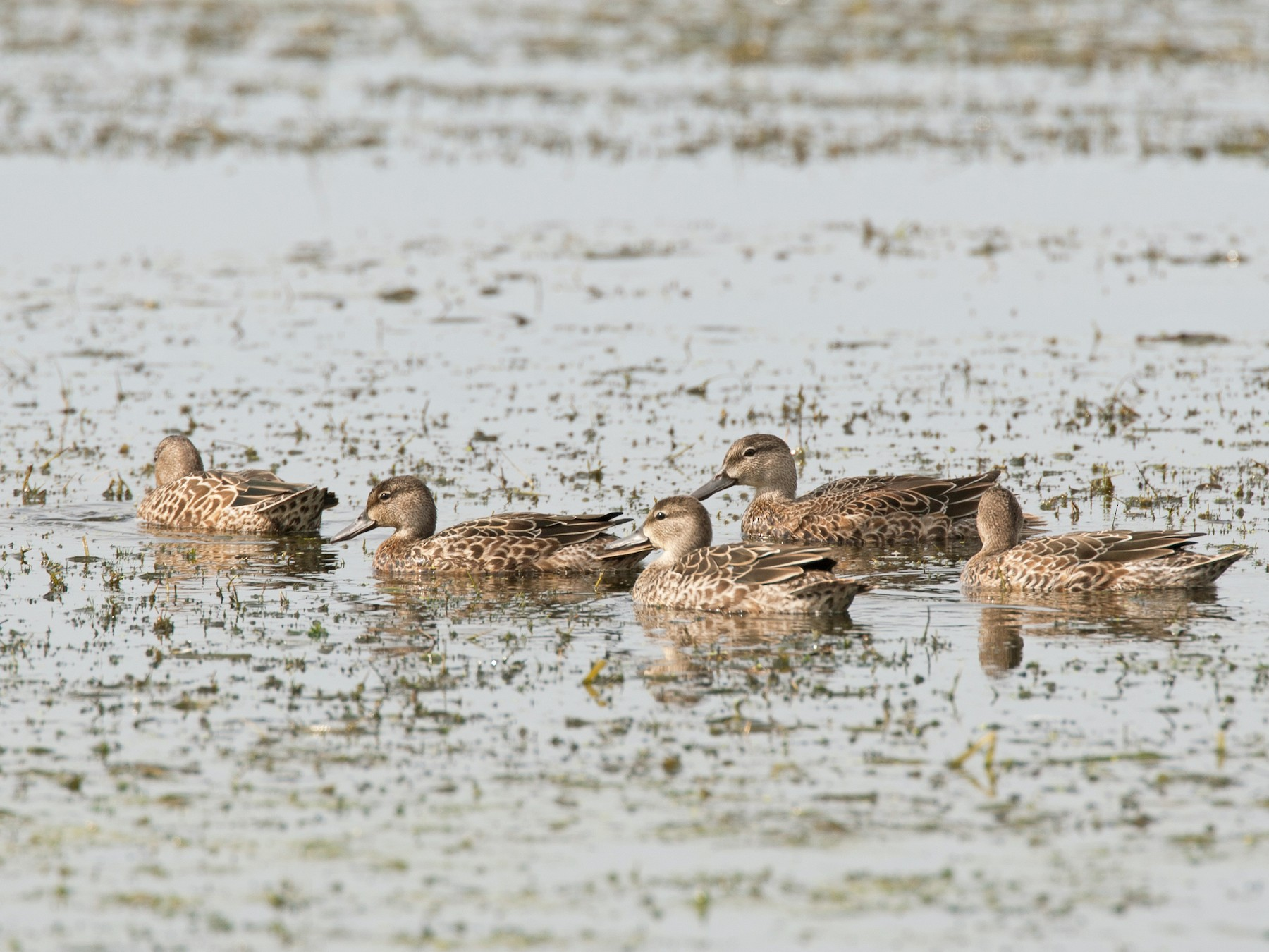 Blue-winged Teal - Chris Wood
