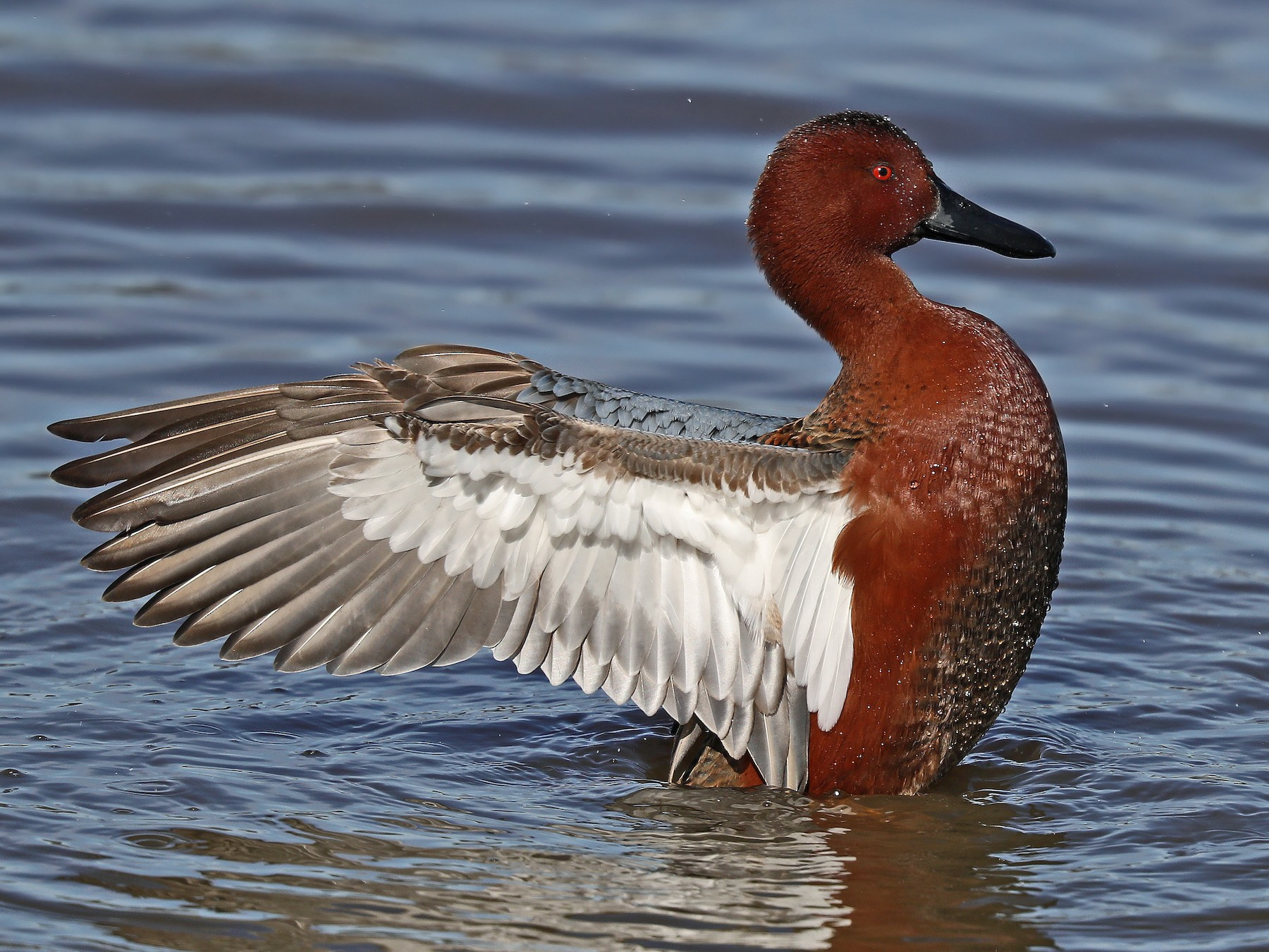 Cinnamon Teal - Matt Davis