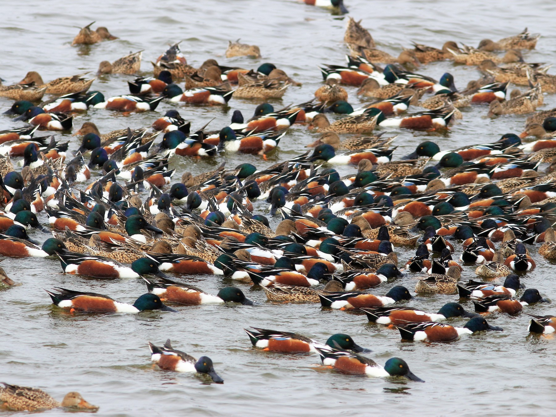 Northern Shoveler - Jo-Szu [Ross] (若詩) Tsai (蔡)