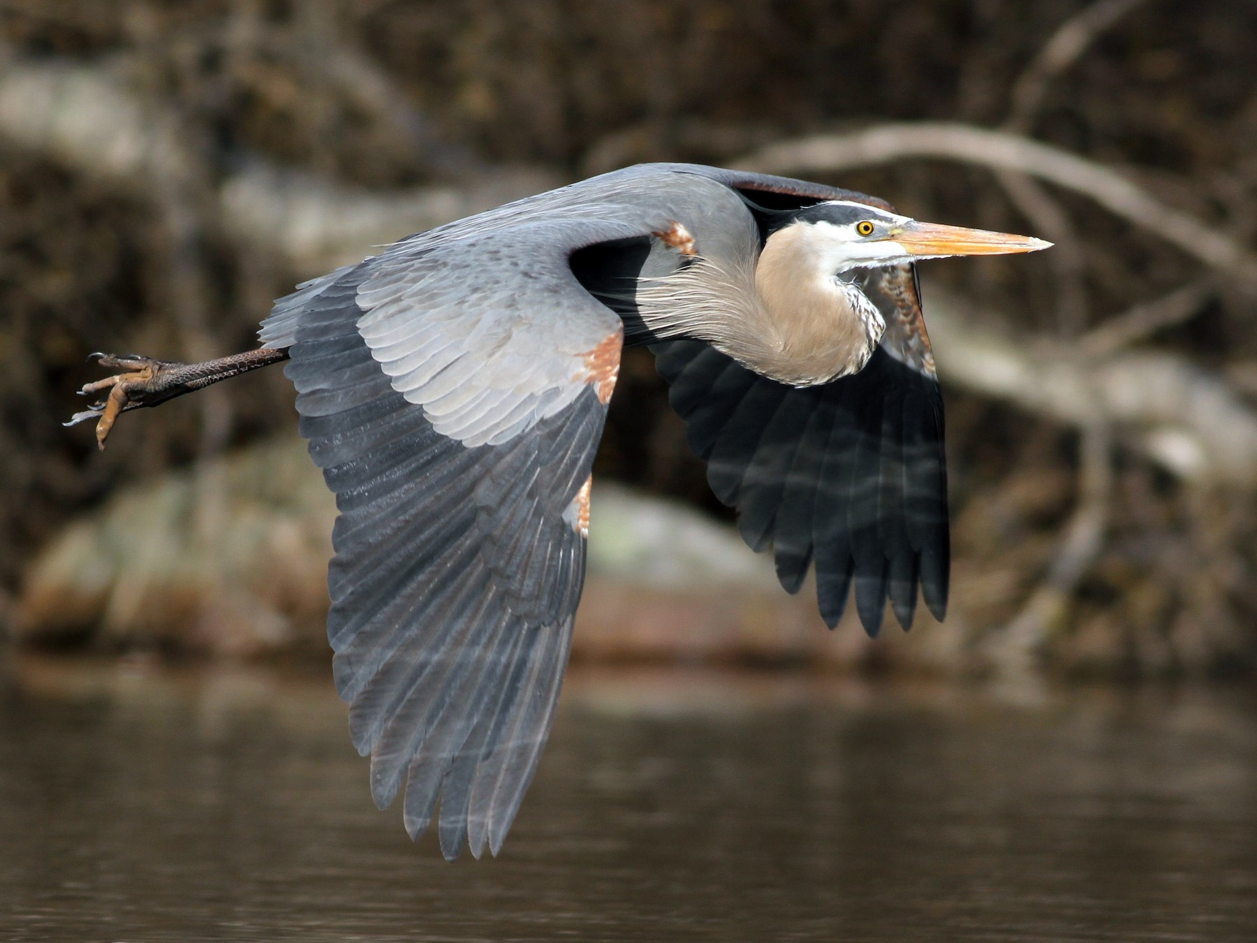 Great Blue Heron - Evan Lipton