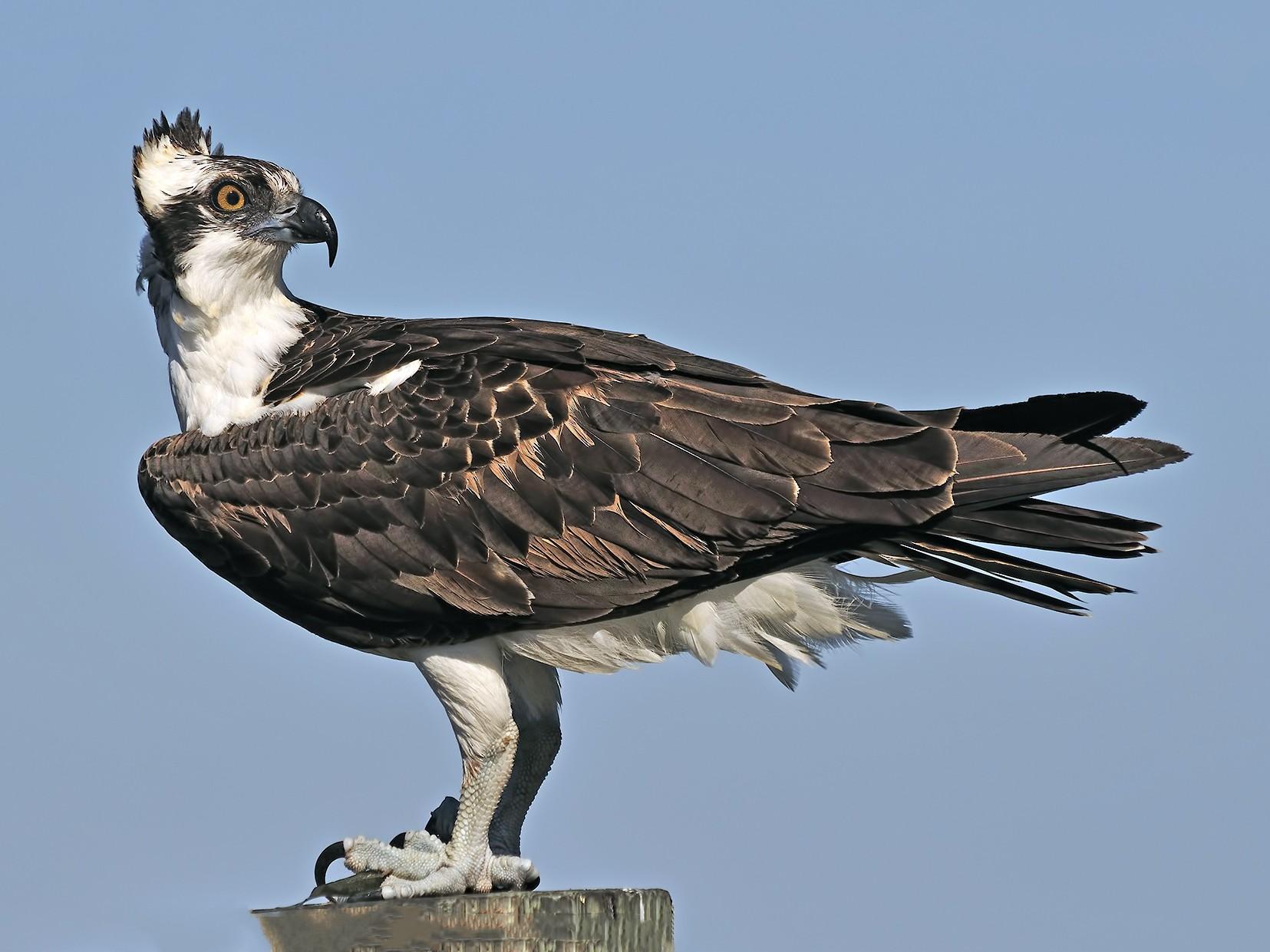 Osprey - Ferit Başbuğ