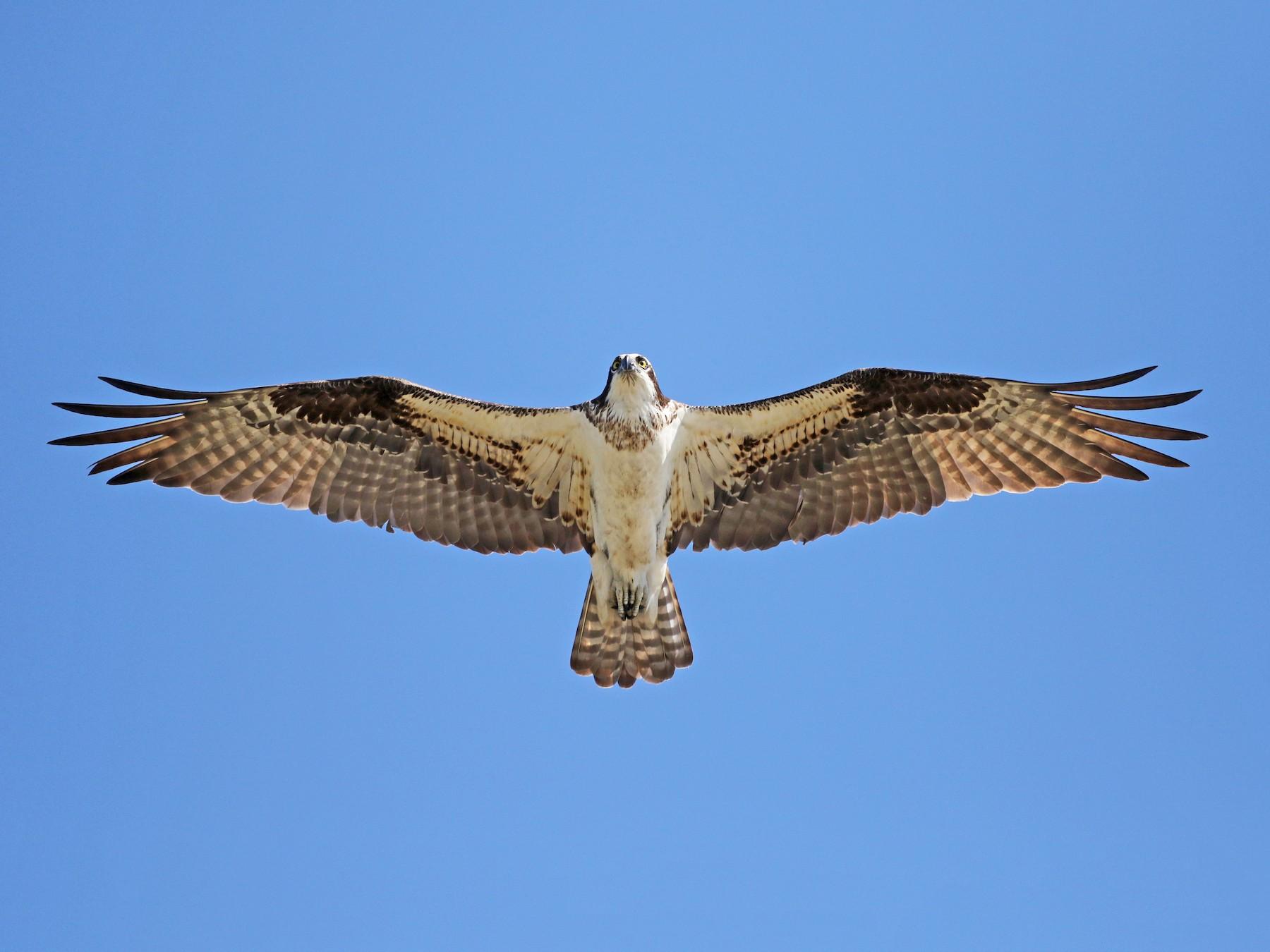 Osprey - Jay McGowan