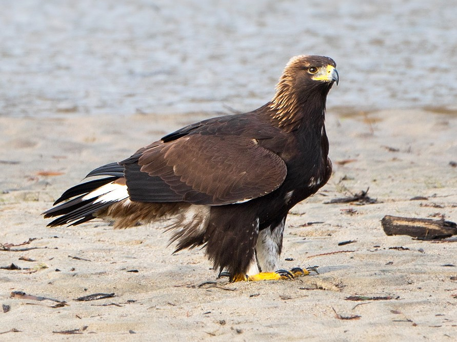 Golden Eagle - Liron Gertsman