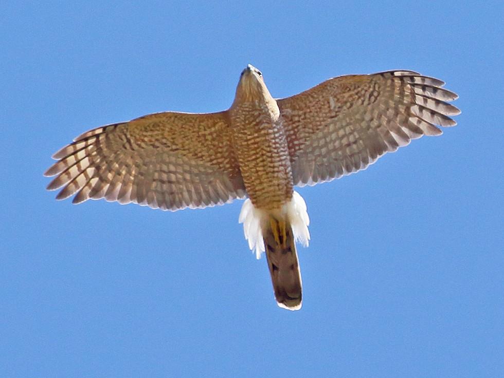 Cooper's Hawk - Dan Vickers