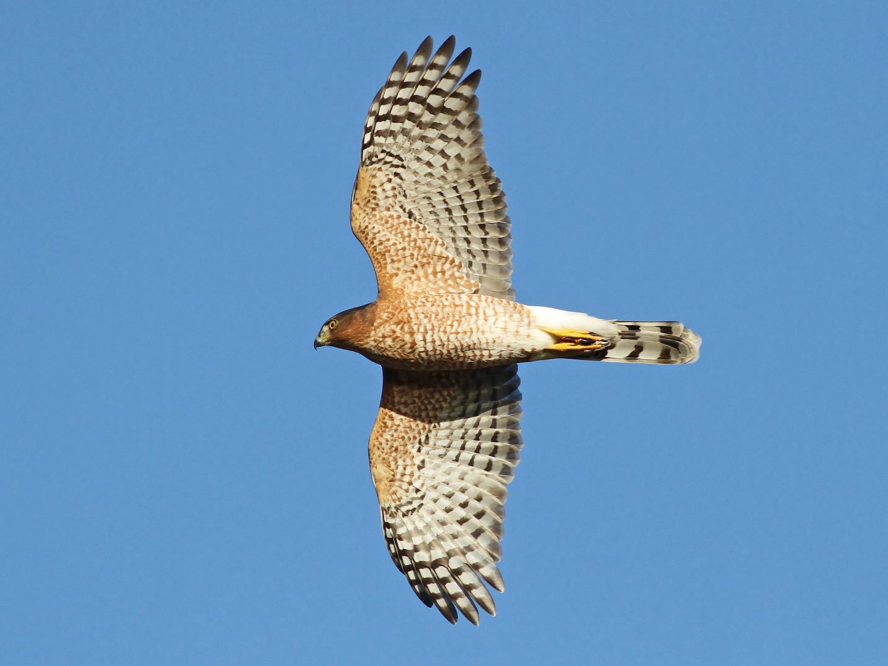Cooper's Hawk - Alex Lamoreaux